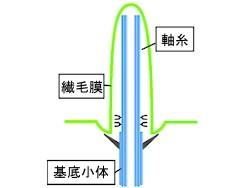 一次繊毛の模式図20141.04.23